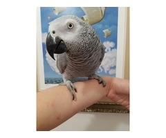 REHOME BABY AFRICAN GREY PARROT. | free-classifieds-usa.com