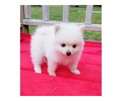 Pomeranian Puppies for adoption for adoption
