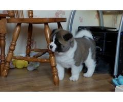 Beautiful Pedigree Husky Puppies Ready to g