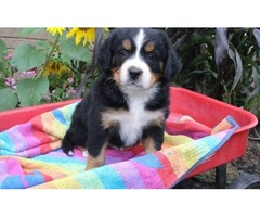Domestic Letters of ( 3 ) Bernese Mountain Puppies Offering To Good Homes
