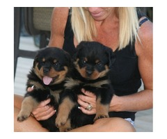 Rottwieler puppies for any good home