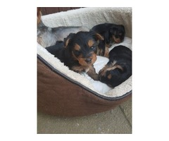 Two purebread Rottwieler puppies