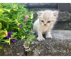 Adorable & affectionate Minuet Kitten