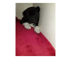 lovely male and female Akita puppies!