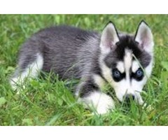 2 Siberian Husky Pups Left