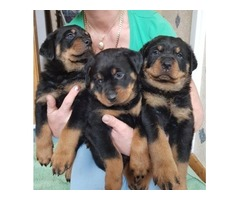 Very Large Rottweiler German Puppies