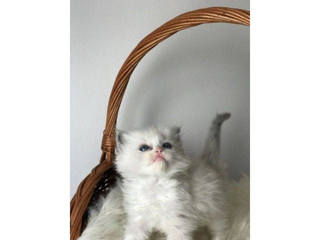 better Ragdoll  kitten for sale  | free-classifieds-usa.com