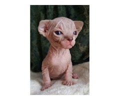 Very Exciting and Playful*********Sphynx Kittens