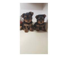 Beautiful aKc Reg Yorkshire Terrier Puppies