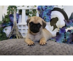 HAPPY Pug puppies available