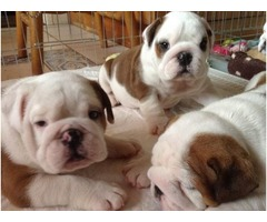 Alluring Male and Female English Bulldogs puppies