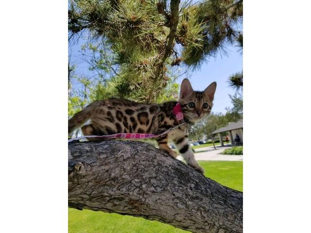 Bengal Kittens Purebred Rosetted TICA | free-classifieds-usa.com