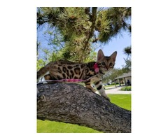 Bengal Kittens Purebred Rosetted TICA