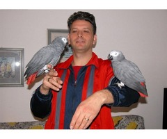 Two Pairs of African Greys On Sale