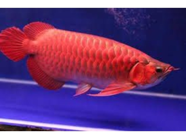 Top quality Grade AAA Asian Arowana fishes from genuine breeders available on sale now, | free-classifieds-usa.com