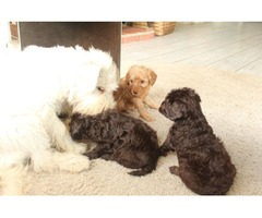 Beautiful Schnoodles Puppies Ready for a New home