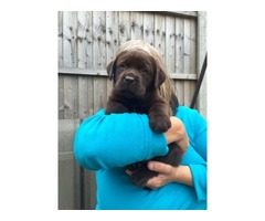 Outstanding Litter Of Labrador Puppies For Sale | free-classifieds-usa.com