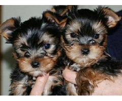 G Home Raised and House Broken Yorkies Available
