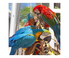 Beautiful hand reared blue and gold macaw