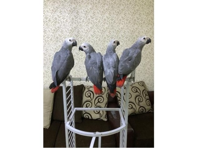 HEALTHY AND TAMED VERY FRIENDLY AFRICAN GREY PARROTS AVIALABLE | free-classifieds-usa.com