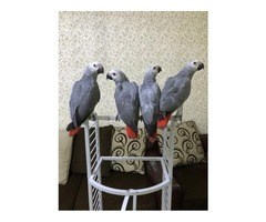 HEALTHY AND TAMED VERY FRIENDLY AFRICAN GREY PARROTS AVIALABLE