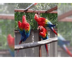 BEAUTIFUL ,HEALTHY AND TAMED SCARLET  MACAWS FOR SALE YOUNG AND ADULTS AVIALABLE | free-classifieds-usa.com