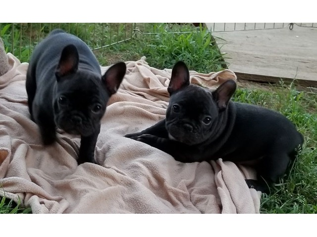 French bulldog Puppies Available | free-classifieds-usa.com