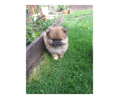 Pomeranian Puppies fpor sale