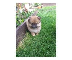 Pomeranian Puppies fpor sale | free-classifieds-usa.com
