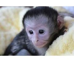 Your [LEGIT]Premium 2018 potty/diaper trained capuchin monkey