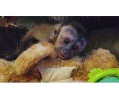 Good [LEGIT]Premium 2018 potty/diaper trained capuchin monkey