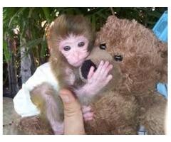 Incredible [LEGIT]Premium 2018 potty/diaper trained capuchin monkey