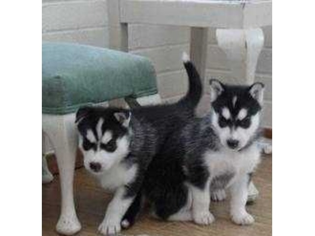 SiberianHuskyPuppies