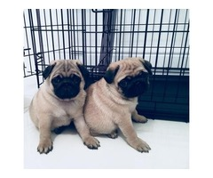 Cute male and female Pug puppies  Available