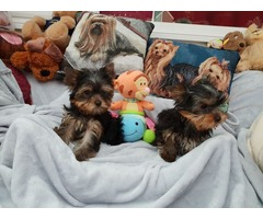 Healthy Yorkie puppies