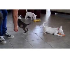 Amazing Bull terrier Puppies