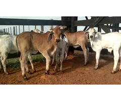 Brahman heifers , holstein , jersey and angus calves available
