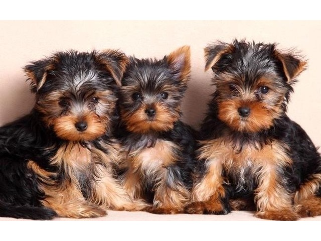 Male And Female Teacup Yorkie Puppies Animals Denver Colorado