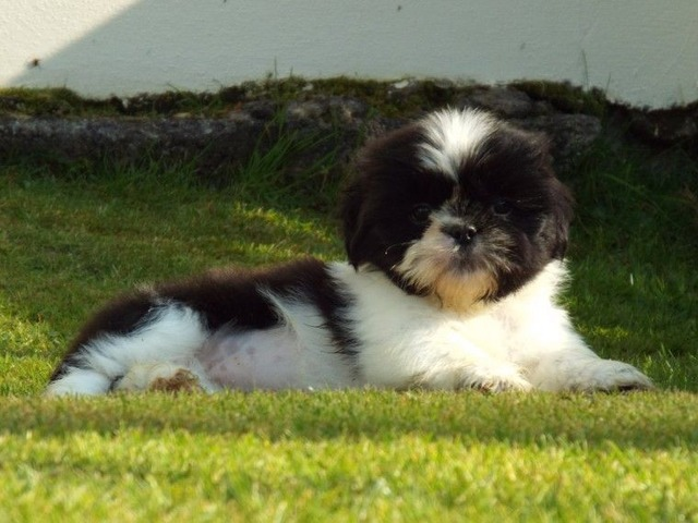 Shih Tzu Puppies Available For Adoption Animals Springfield