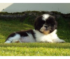 Shih Tzu puppies available for adoption.