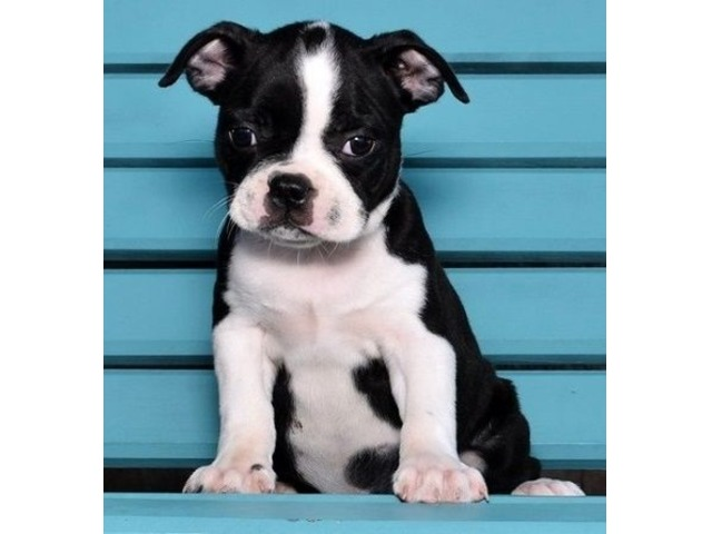 Charming Boston Terrier Puppies For Sale Animals Birmingham