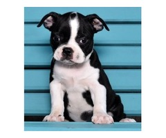 Charming Boston terrier puppies for sale