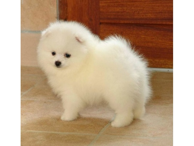 Cute Male And Female Pomeranian Puppies Ready To Move Into A New