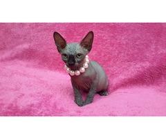 Canadian Sphynx Kittens. Beautiful Girl boy !!!