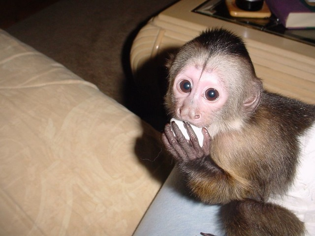Amazing companion Capuchin monkey for sale now - Animals