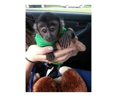 Amazing companion Capuchin monkey for sale now