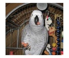 Sweet African Grey Parrots Available/Cage