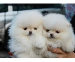 Adorable Teacup Pomeranian Puppies For Sale