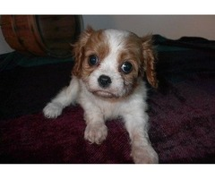 Step-To-Step Cavalier King Charles Spaniel