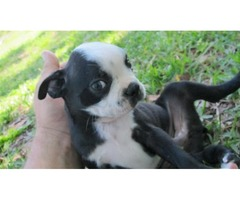 HC-HSF4 DNA Clear Young Boston Terrier Puppies(24/7 home puppies)